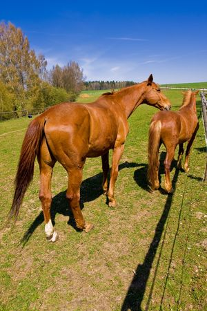 bay horses on green pasture photo