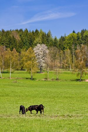 cows on pasture in beautiful landscape Stock Photo - 2951721