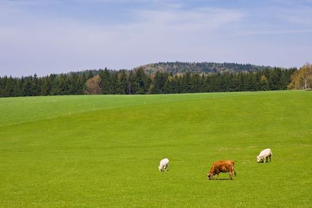cud: cows on pasture in beautiful landscape