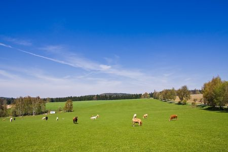 cows on pasture in beautiful landscape photo