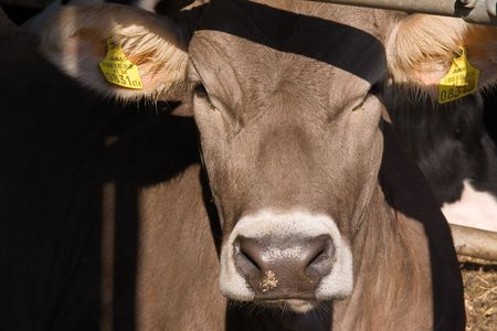 a close-up of cow Stock Photo - 3084267