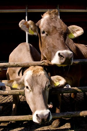 cud: a close-up of cow