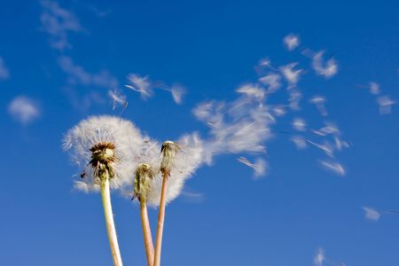 dandelions blowing in the wind photo