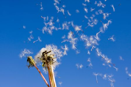 dandelions blowing in the wind Stock Photo - 3133179