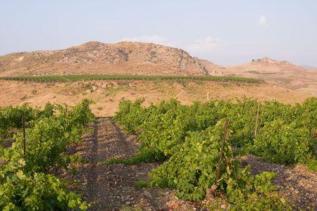 landscape with a spring vineyarrd photo