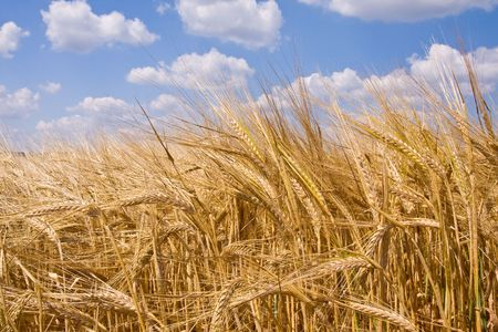 golden wheat field and blue sky landscape Stock Photo - 3411160
