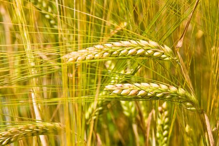 golden ripe wheat right before harvest photo
