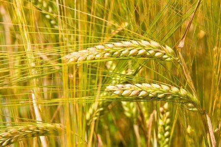 golden ripe wheat right before harvest Stock Photo - 3455442