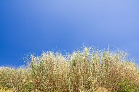 reeds at the lake with a blue sky photo