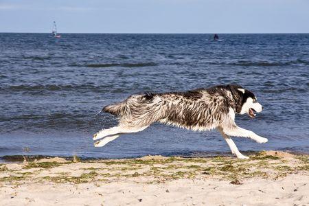 husky running on the beach photo
