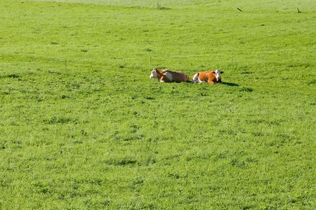 heffer: grazing cows on alpine pasture Stock Photo
