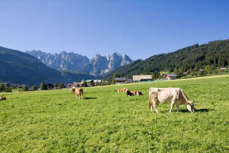 grazing cows on alpine pasture photo