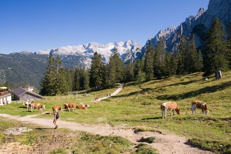 cows grazing on pasture in high alps photo