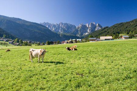 fresian: grazing cows on alpine pasture Stock Photo