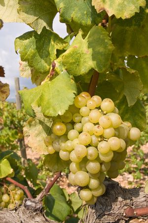 bunch of golden grapes on grapevine right before harvest photo