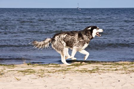 husky running on the beach Stock Photo