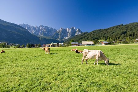 grazing cows on alpine pasture Stock Photo - 3880045