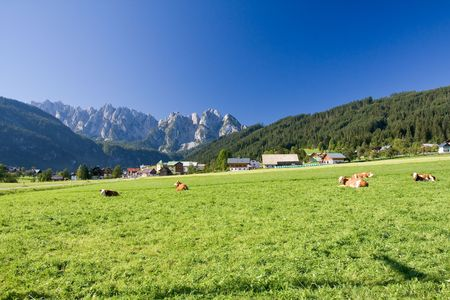 cows grazing on an alpine meadow Stock Photo
