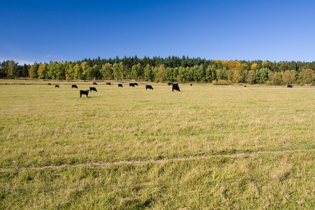 beautiful autumn landscape with grazing cows photo