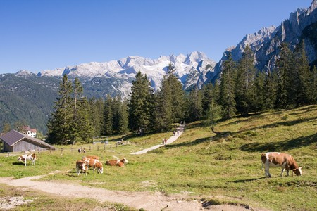 cows grazing on pasture in high alps Stock Photo - 4328491