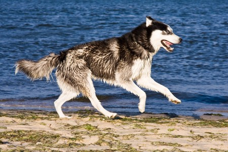 husky running on the beach photo