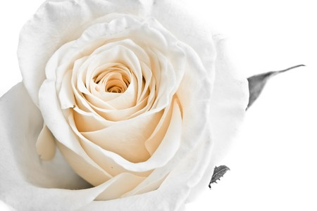 best wishes: a close-up of white rose petals Stock Photo