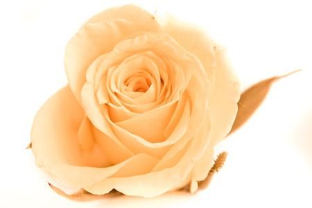a close-up of orange rose petals photo