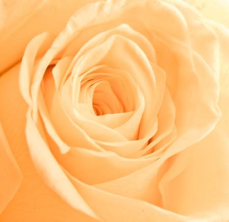 best wishes: a close-up of orange rose petals