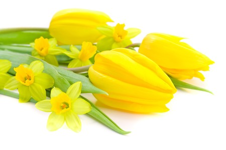 close-up of tulips and daffodils on white background Stock Photo - 4530969