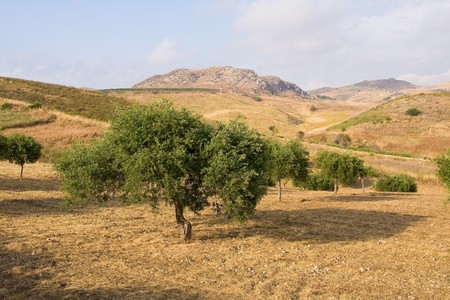 typical olive trees in Sicily photo