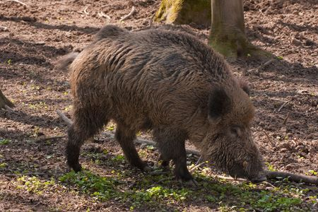forest products: boar feedind in the forest