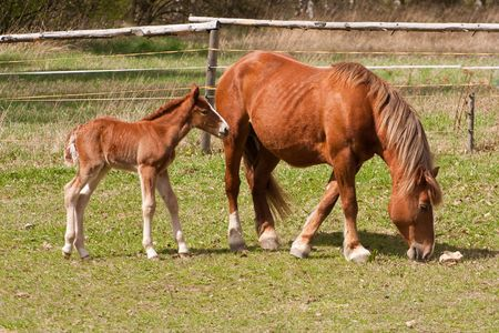 chestnut mare and foel on pasture photo