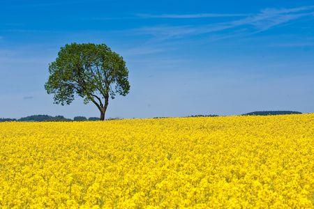 rape field in the springtime photo