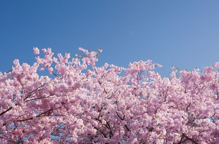 glowering: cherry tree in the springtime