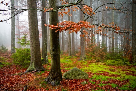misty forest at dawn in the autumn Stock Photo - 8350228