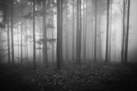 conifer: misty forest at dawn in the autumn