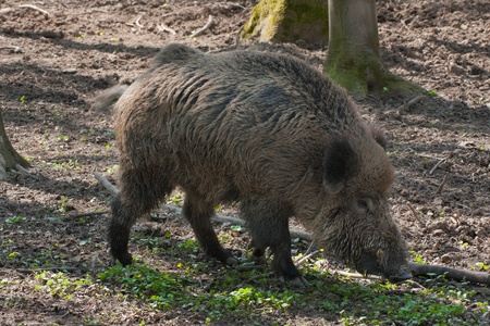 boar feeding in the forest photo