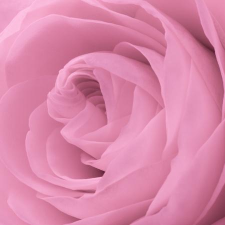 close up of pink rose petals Stock Photo - 8742400