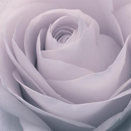 close up of rose petals photo