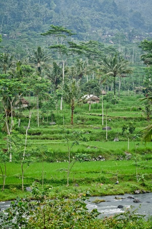 typical terrace rice fields of Bali, Indonesia photo