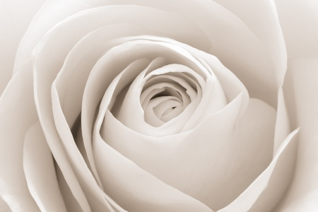 close up of white rose petals photo