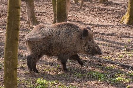 boar feedind in the forest photo