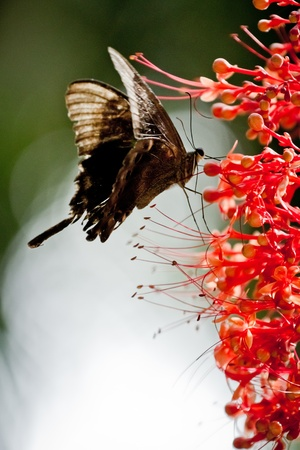tropical butterfly feeding on red flower photo