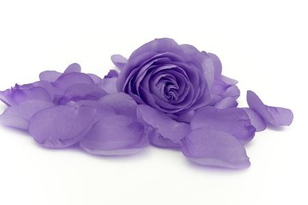 funeral background: close up of violet rose petals