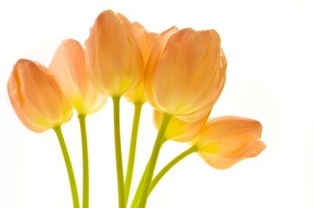tulips arrangement isolated on white Stock Photo - 9121338