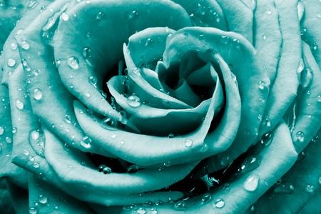 close up of rose petals Stock Photo - 9170304