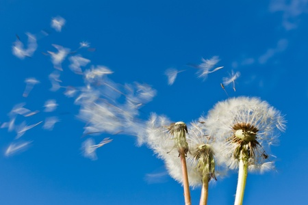 overblown: dandelions blowing in the wind