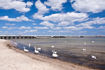 swans at wooden pier, Sopot, Poland photo