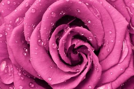 close up of pink rose photo