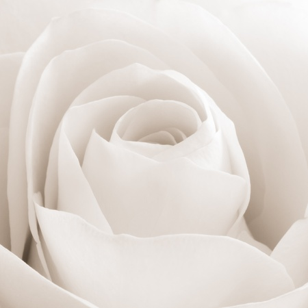 funeral background: close up of white rose petals Stock Photo